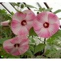 HIBISCUS moscheutos Luna Pink Swirl  5 seeds