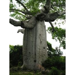 "ADANSONIA suarezensis ""Suarez Baobab"" 2 seeds"