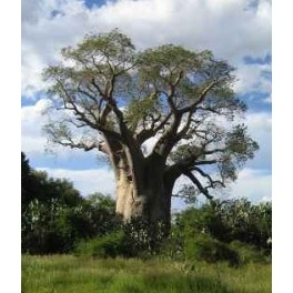 "ADANSONIA za ""Za Baobab"" 2 seeds"