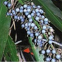 "ALPINIA caerulea ""Blue Fruited Ginger"" 4 seeds"