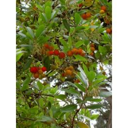"ARBUTUS unedo ""Strawberry Tree"" 10 seeds"