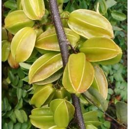 "AVERRHOA carambola ""Carambola"" 5 seeds"