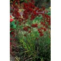 "ANIGOZANTHOS flavidus Red ""Red Kangaroo Paw"" 30 seeds"