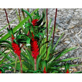 "ANIGOZANTHOS manglesii ""Red-and-green Kangaroo Paw"" 30 seeds"