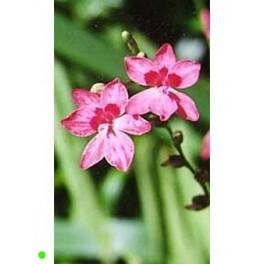 LAPEIROUSIA laxa 10 seeds