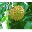 "ANNONA purpurea ""Sancoya"" 5 seeds"