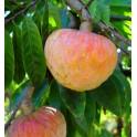 "ANNONA reticulata ""Custard Apple"" 5 seeds"