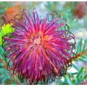 "BANKSIA violacea ""Purple Banksia"" 4 seeds"