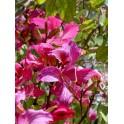 """BAUHINIA variegata """"Orchid Tree"""" 3 seeds"""