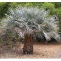 """BRAHEA armata  """"Mexican Blue Palm"""" 3 seeds"""