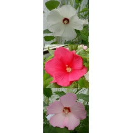 "HIBISCUS moscheutos ""Giant Mallow Marvels"" Mixture 5 seeds"