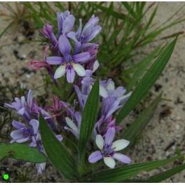 BABIANA fragrans 5 seeds