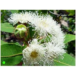 "ANGOPHORA costata ""Apple Gum"" 10 seeds"