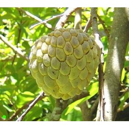 "ANNONA squamosa ""Sugar Apple"" 5 seeds"