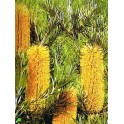 BANKSIA spinulosa v. collina 5 seeds
