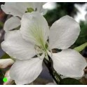 "BAUHINIA alba ""White Orchid Tree"" 2 seeds"