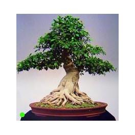 Ficus Macrophylla Moreton Bay Fig 30 Seeds