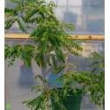 OPERCULICARYA hirsutissima 2 seeds