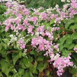 """ANTIGONON  leptopus Rose Pale """"Coral Vine""""  3 semena"""