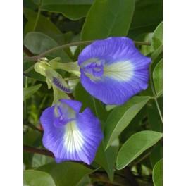 CLITORIA ternatea 10 seeds