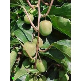 "ACTINIDIA arguta Issai ""Dessert Kiwi"" 8 seeds"