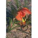 GLADIOLUS alatus 5 seeds