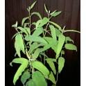 EUCALYPTUS citriodora (obalované osivo) 10 semen