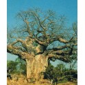 "ADANSONIA digitata ""Baobab"" 2 seeds"